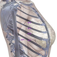 SP19 Spleen Meridian Acupuncture Point - Skeletal / Skeleton level.