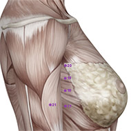 SP20 Spleen Meridian Acupuncture Point - Muscular / Muscle level.