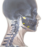 ST06 Stomach Meridian Acupuncture Point - Skeletal / Skeleton level.