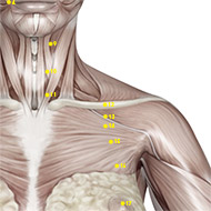 ST12 Stomach Meridian Acupuncture Point - Muscular / Muscle level.