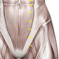 ST28 Stomach Meridian Acupuncture Point - Muscular / Muscle level.