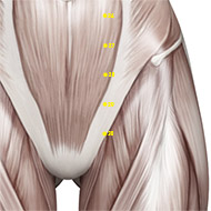 ST29 Stomach Meridian Acupuncture Point - Muscular / Muscle level.