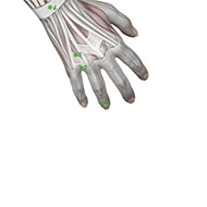 TB01 Triple Burner or Sanjiao Meridian Acupuncture Point - Muscular / Muscle level.