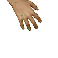 TB01 Triple Burner or Sanjiao Meridian Acupuncture Point - Dermal / Skin level.