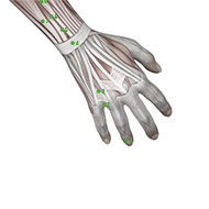 TB02 Triple Burner or Sanjiao Meridian Acupuncture Point - Muscular / Muscle level.