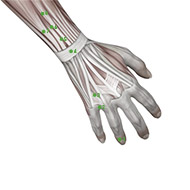 TB03 Triple Burner or Sanjiao Meridian Acupuncture Point - Muscular / Muscle level.