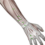 TB05 Triple Burner or Sanjiao Meridian Acupuncture Point - Muscular / Muscle level.