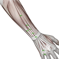 TB06 Triple Burner or Sanjiao Meridian Acupuncture Point - Muscular / Muscle level.