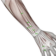 TB07 Triple Burner or Sanjiao Meridian Acupuncture Point - Muscular / Muscle level.