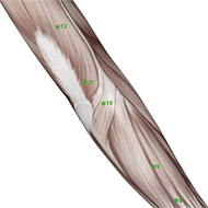 TB10 Triple Burner or Sanjiao Meridian Acupuncture Point - Muscular / Muscle level.