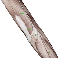 TB11 Triple Burner or Sanjiao Meridian Acupuncture Point - Muscular / Muscle level.