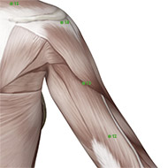 TB13 Triple Burner or Sanjiao Meridian Acupuncture Point - Muscular / Muscle level.