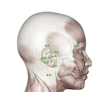TB20 Triple Burner or Sanjiao Meridian Acupuncture Point - Muscular / Muscle level.