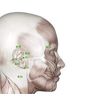 TB23 Triple Burner or Sanjiao Meridian Acupuncture Point - Muscular / Muscle level.